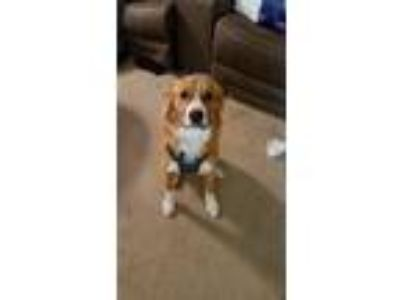 Adopt Bonnie a Brown/Chocolate - with White Golden Retriever / Labrador