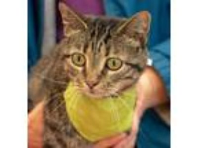 Adopt Judith - FREE Adoption Fee a Brown Tabby Domestic Shorthair / Mixed (short