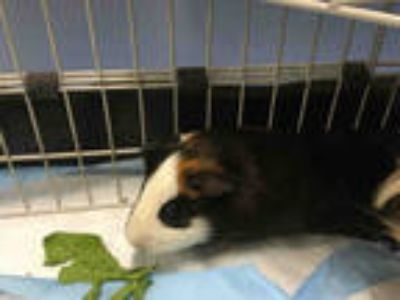 Adopt FRED a Black Guinea Pig / Mixed small animal in Loveland, CO (25287368)