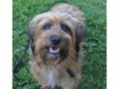 Adopt Penny-Foster Home Needed a Tibetan Terrier