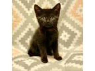 Adopt Jellybean a All Black Domestic Shorthair cat in Wadena, MN (25254920)