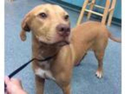 Adopt Roxy a Tan/Yellow/Fawn Retriever (Unknown Type) / Mixed dog in Clearwater