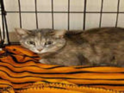 Adopt BILLIE JEAN a Calico or Dilute Calico Domestic Shorthair / Mixed (short