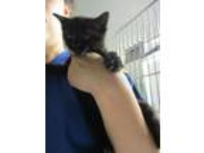 Adopt Walter Croncat a Domestic Short Hair