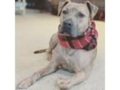 Adopt Bane a Pit Bull Terrier, Staffordshire Bull Terrier