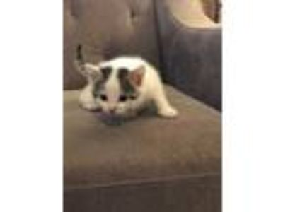 Adopt Ruby a White Domestic Shorthair / Domestic Shorthair / Mixed cat in
