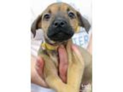 Adopt Elma a Tan/Yellow/Fawn - with Black Shepherd (Unknown Type) / Mixed dog in