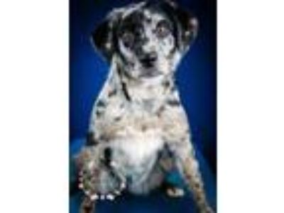 Adopt Flower- 050117M a Black Australian Shepherd / Mixed dog in Tupelo