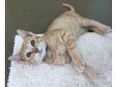 Adopt PODRICK a Domestic Short Hair