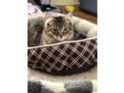 Adopt Ducky a Domestic Medium Hair, Maine Coon