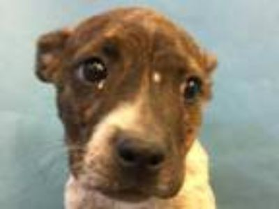 Adopt Yvonne a Brindle Boxer / Labrador Retriever / Mixed dog in Coon Rapids
