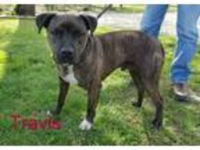Adopt Travis a Pit Bull Terrier