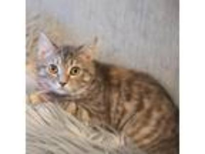 Adopt Holly a Domestic Shorthair cat in Woodstock, GA (24776132)