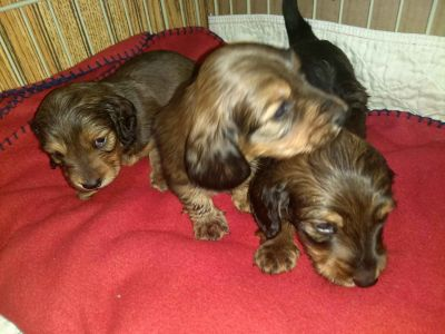 Standard Longhair Male Dachshund Puppies
