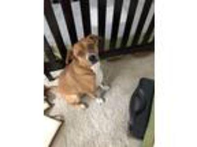 Adopt Opi a Red/Golden/Orange/Chestnut Australian Cattle Dog / Boxer / Mixed dog