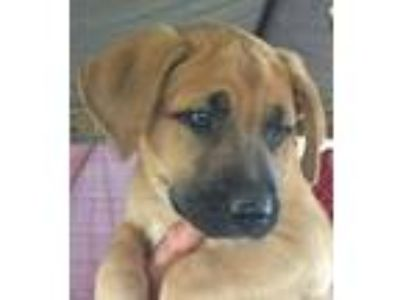 Adopt Neo Puppy a German Shepherd Dog