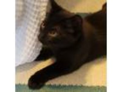 Adopt Mayweather a Domestic Short Hair