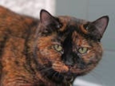 Adopt LUNA a Tortoiseshell Domestic Shorthair / Mixed (short coat) cat in