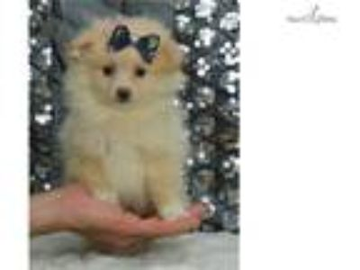Vanna Super Cute Pomeranian Puppy Available!
