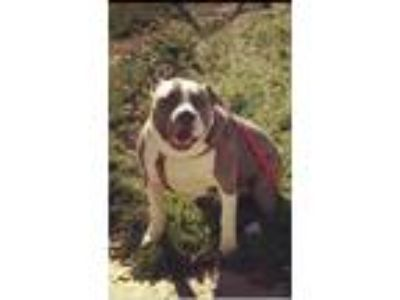 Adopt Boston a Gray/Blue/Silver/Salt & Pepper American Pit Bull Terrier /