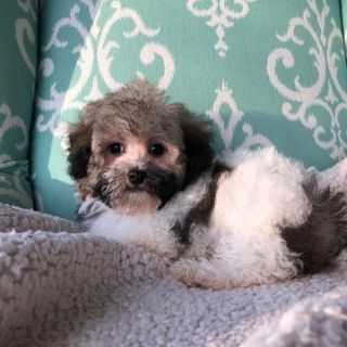 Havanese PUPPY FOR SALE ADN-100834 - Havanese Puppy