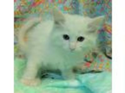 Adopt Snow 30755 a White Domestic Mediumhair / Mixed (medium coat) cat in
