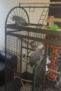 6 month years old African grey parrots