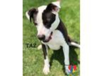 Adopt Taz a Black American Pit Bull Terrier / Australian Cattle Dog / Mixed dog