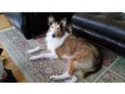 Adopt Goldie ~ Special Needs a Collie