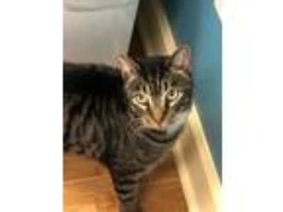 Adopt Charlie a Brown or Chocolate (Mostly) Domestic Shorthair (short coat) cat