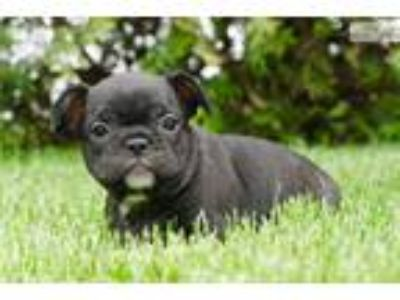 Blake Amazing AKC French Bulldog Puppy Available!