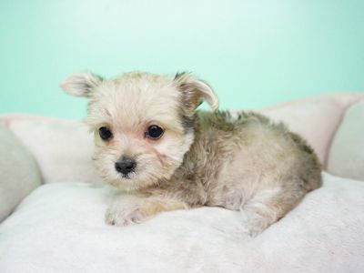 Morkie PUPPY FOR SALE ADN-104355 - Morkie Female Abby