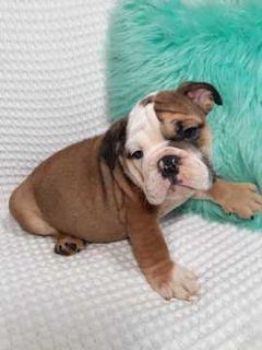 English Bulldog PUPPY FOR SALE ADN-92446 - English male 5