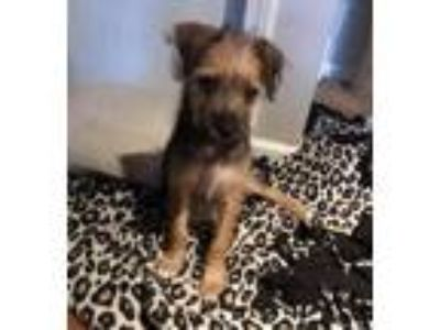 Adopt Keya a Black - with Tan, Yellow or Fawn Cairn Terrier / Mixed dog in