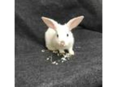 Adopt Bob a White Other/Unknown / Other/Unknown / Mixed rabbit in Tampa