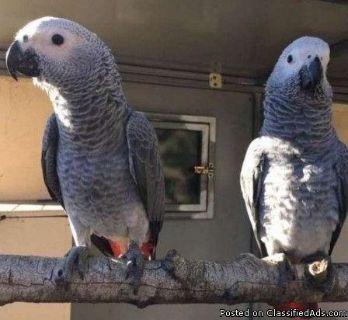 djdbj,African grey parrots
