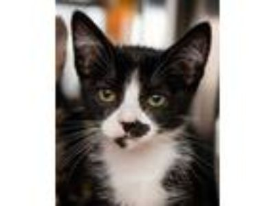 Adopt Cheeky a All Black Domestic Shorthair / Domestic Shorthair / Mixed cat in