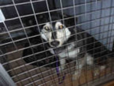Adopt *ELIZA a Tricolor (Tan/Brown & Black & White) Australian Shepherd / Husky