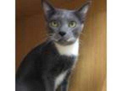 Adopt Spitz a Gray or Blue Russian Blue cat in Island Park, NY (25915589)