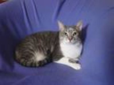 Adopt Duffy a Oriental Short Hair, Tabby
