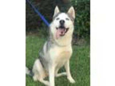 Adopt Juliet - ON HOLD - NO MORE APPLICATIONS a Siberian Husky