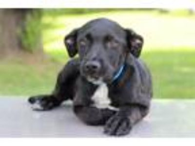 Adopt Noah a Black - with White Labrador Retriever / Mixed dog in Waldorf