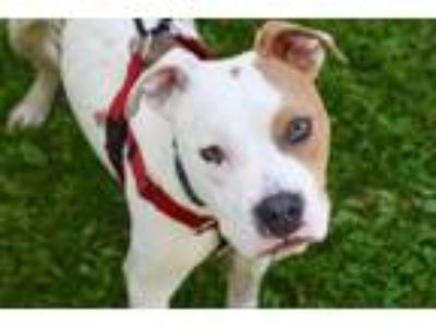 Adopt Bart a Staffordshire Bull Terrier