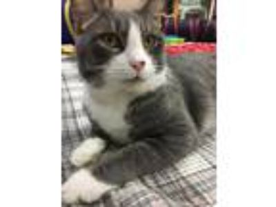 Adopt Madea a Domestic Shorthair / Mixed cat in Elmsford, NY (25298376)