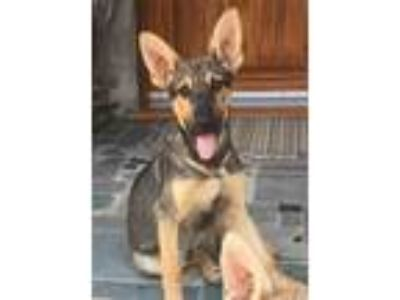 Adopt DASH a German Shepherd Dog, Shepherd