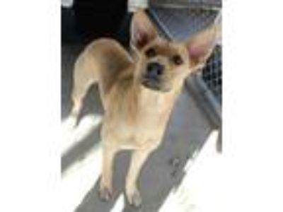 Adopt Spalding a Tan/Yellow/Fawn - with White German Shepherd Dog / Mixed dog in