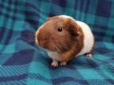 Adopt Chad a White Guinea Pig (short coat) small animal in Harleysville