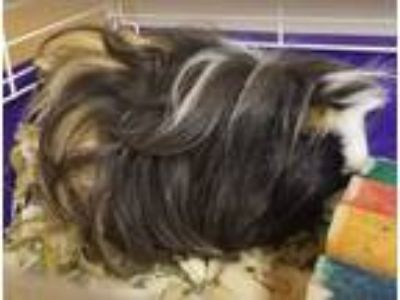 Adopt Queenie a Black Guinea Pig / Mixed small animal in Kokomo, IN (25834315)