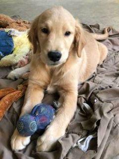Golden Retriever PUPPY FOR SALE ADN-101613 - The Best AKC Golden Retriever Puppies in the World