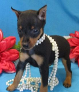 Miniature Pinscher PUPPY FOR SALE ADN-96219 - Min Pins available